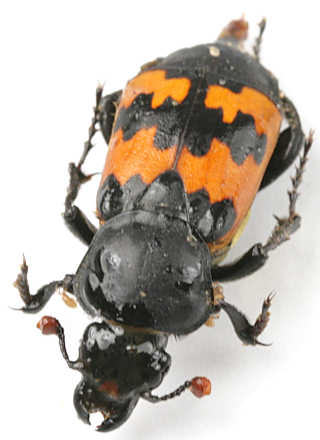 The Good Ride >> Family Silphidae of Goodwell and Texhoma, Texas County, OK