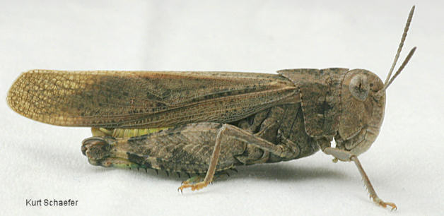 Arphia Conspersa Speckle Winged Rangeland Grasshopper