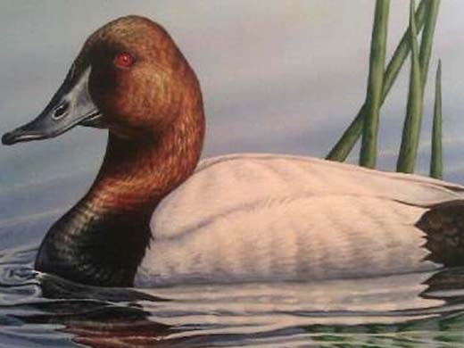 2014 Oklahoma State Duck Stamp Winner by Shea Meyer