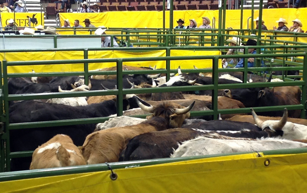 Steer pens in Casper Event Center—Photo by OPSU Rodeo