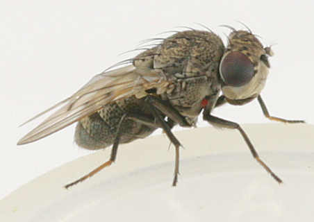 Ephydridae - Shore Flies of Goodwell and Texhoma, Texas