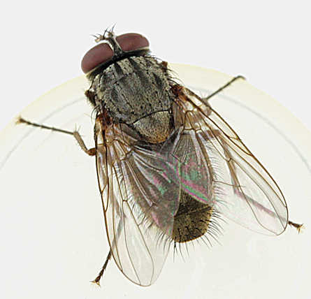 Muscina stabulans - False stable fly