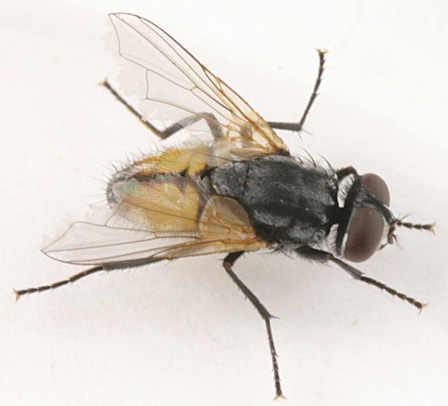 how insects fly with Mus7 on Flesh fly 4996 as well Page 11 furthermore Content 26187475 4 besides Rat Control further Best Handheld Bug Zapper Rackets.