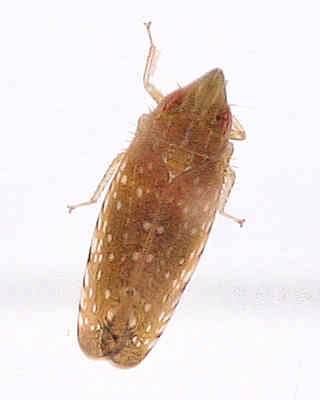 cicadellidae of goodwell and texhoma texas county ok