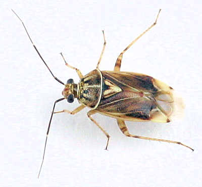 Miridae of Goodwell and Texhoma, OK