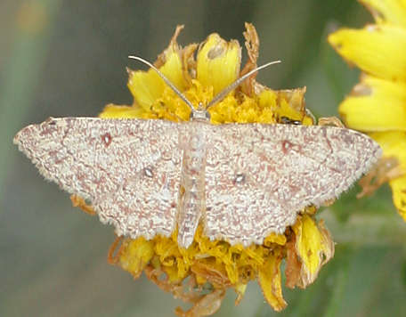 Good Natural Moth Pain Relief
