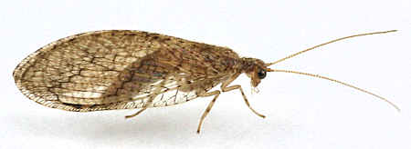 Micromus posticus - Brown Lacewing